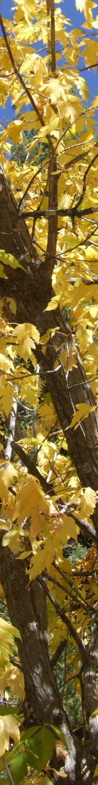 Autumn Trees is a picture taken by Kitchener-Waterloo Psychologist (and amateur photographer) Dr. Val Daigen.