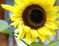Sunflower by Kitchener-Waterloo psychologist Val Daigen