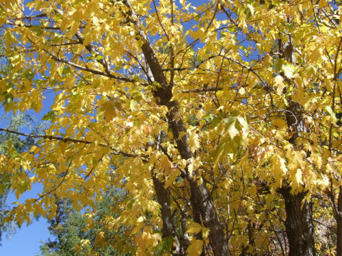 Yellow fall leaves photo by Val Daigen